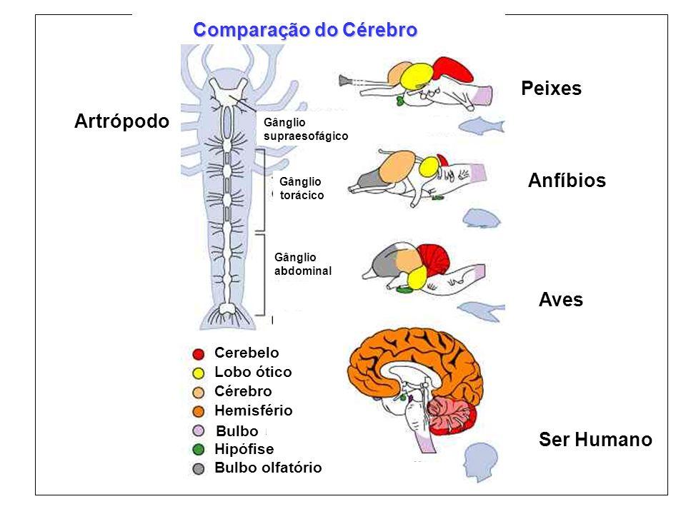 Comparação do Cérebro Peixes Anfíbios Aves Ser Humano Cerebelo Lobo ótico Cérebro Hemisfério Medula Hipófise Bulbo olfatório Artrópodo Gânglio supraes