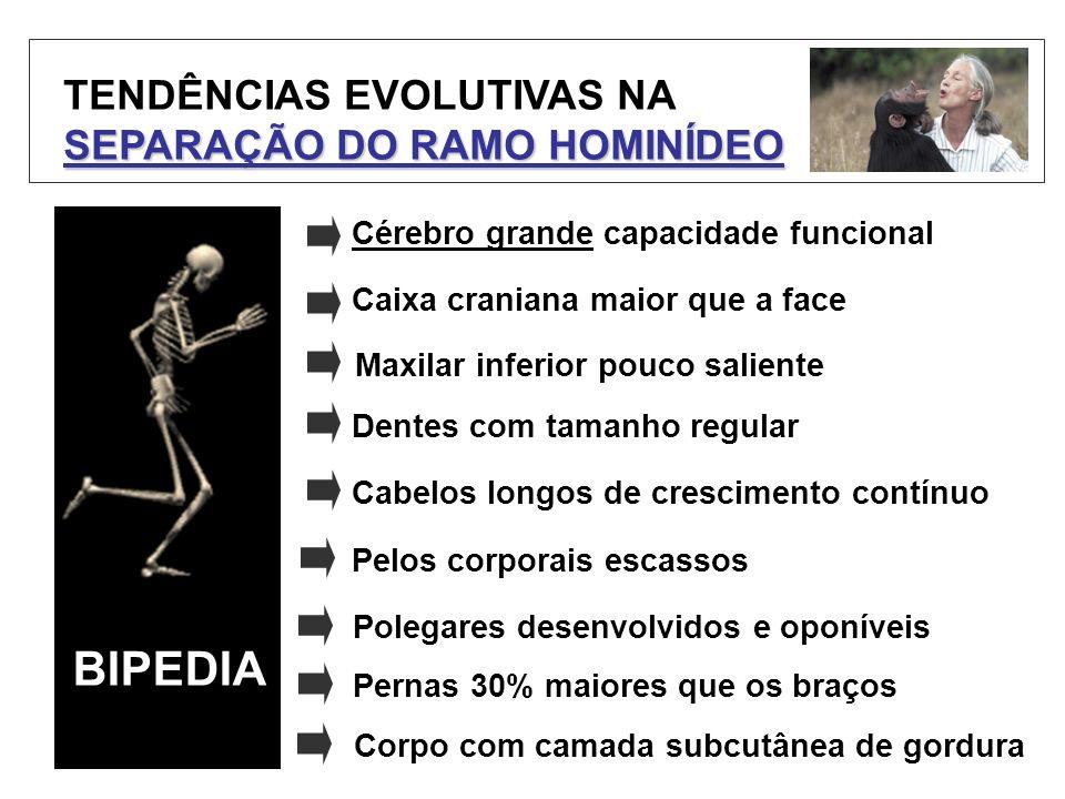 TENDÊNCIAS EVOLUTIVAS NA SEPARAÇÃO DO RAMO HOMINÍDEO BIPEDIA Cérebro grande capacidade funcional Caixa craniana maior que a face Maxilar inferior pouc