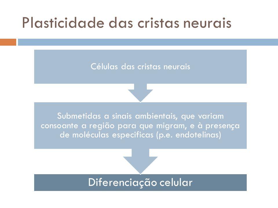 Plasticidade das cristas neurais Diferenciação celular Submetidas a sinais ambientais, que variam consoante a região para que migram, e à presença de