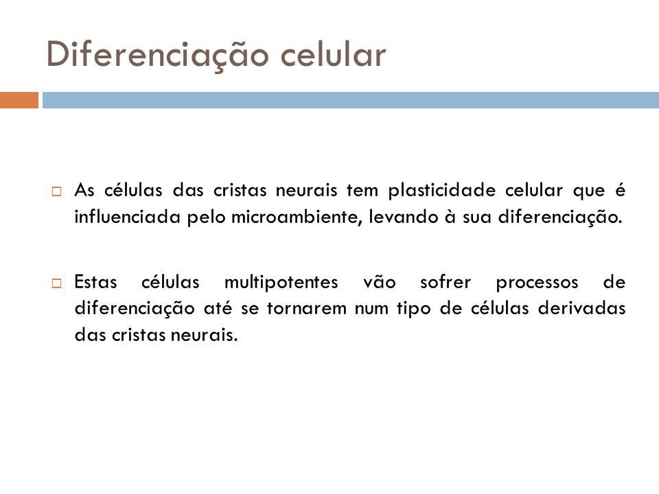 Diferenciação celular As células das cristas neurais tem plasticidade celular que é influenciada pelo microambiente, levando à sua diferenciação. Esta