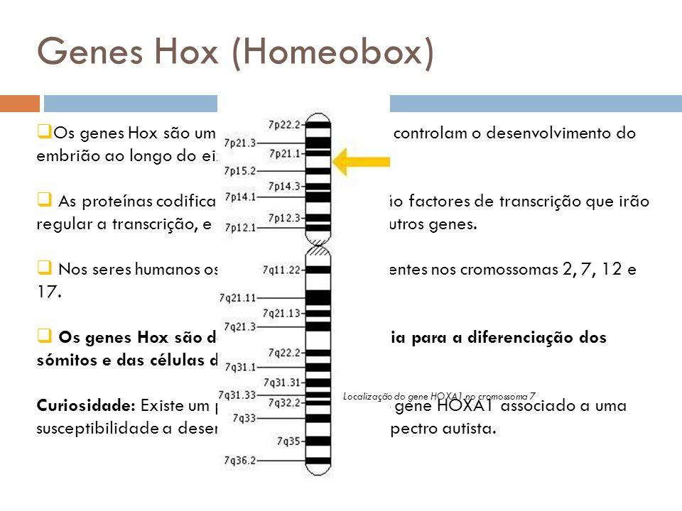 Genes Hox (Homeobox) Os genes Hox são um conjunto de genes que controlam o desenvolvimento do embrião ao longo do eixo anterior-posterior. As proteína