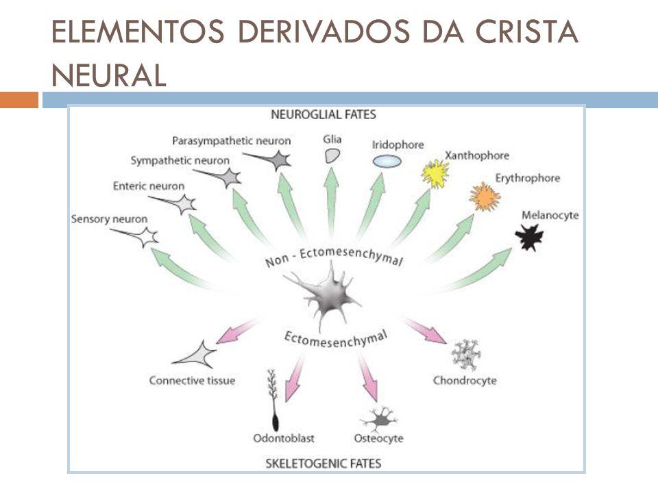 Células mesenquimais Tendo em conta a multipotencialidade das células da crista neural pode-se dizer que estas são funcionalmente mesenquimais.