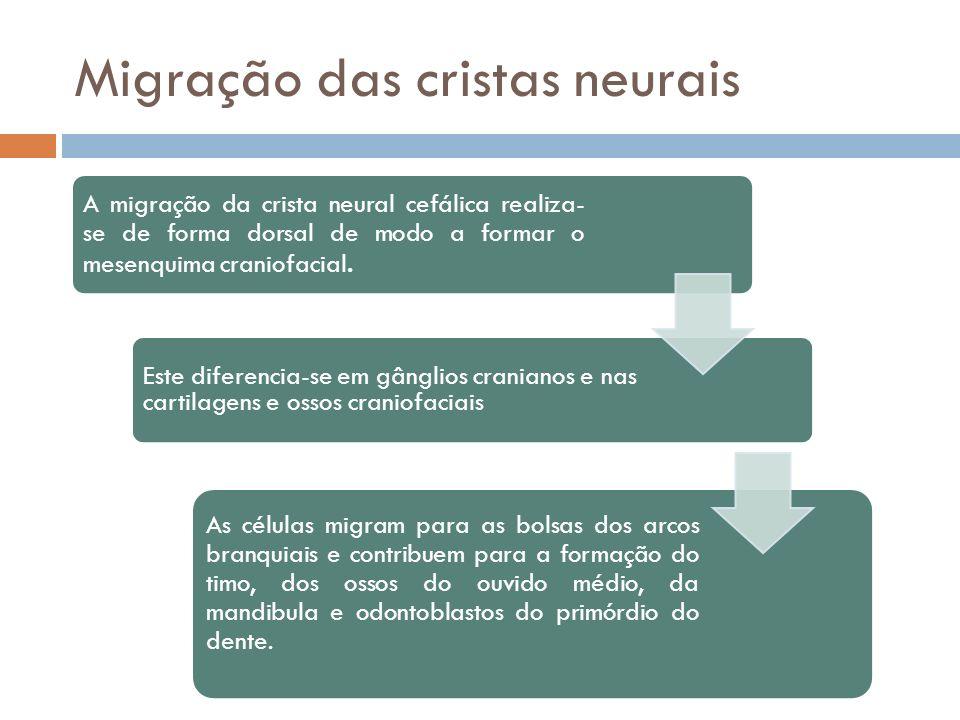 Migração das cristas neurais A migração da crista neural cefálica realiza-se de forma dorsal de modo a formar o mesenquima craniofacial. Este diferenc