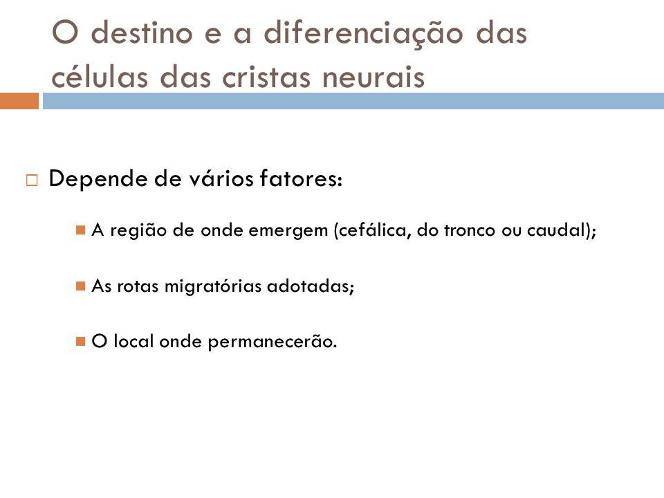 O destino e a diferenciação das células das cristas neurais Depende de vários fatores: A região de onde emergem (cefálica, do tronco ou caudal); As ro