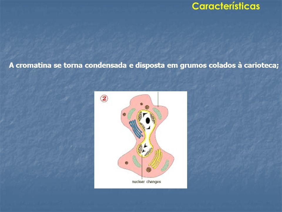 A cromatina se torna condensada e disposta em grumos colados à carioteca; Características