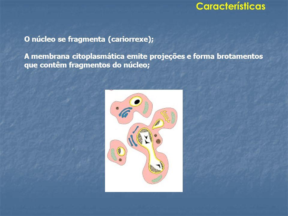 O núcleo se fragmenta (cariorrexe); A membrana citoplasmática emite projeções e forma brotamentos que contêm fragmentos do núcleo; Características