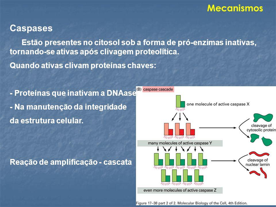 Caspases Estão presentes no citosol sob a forma de pró-enzimas inativas, tornando-se ativas após clivagem proteolítica. Quando ativas clivam proteínas