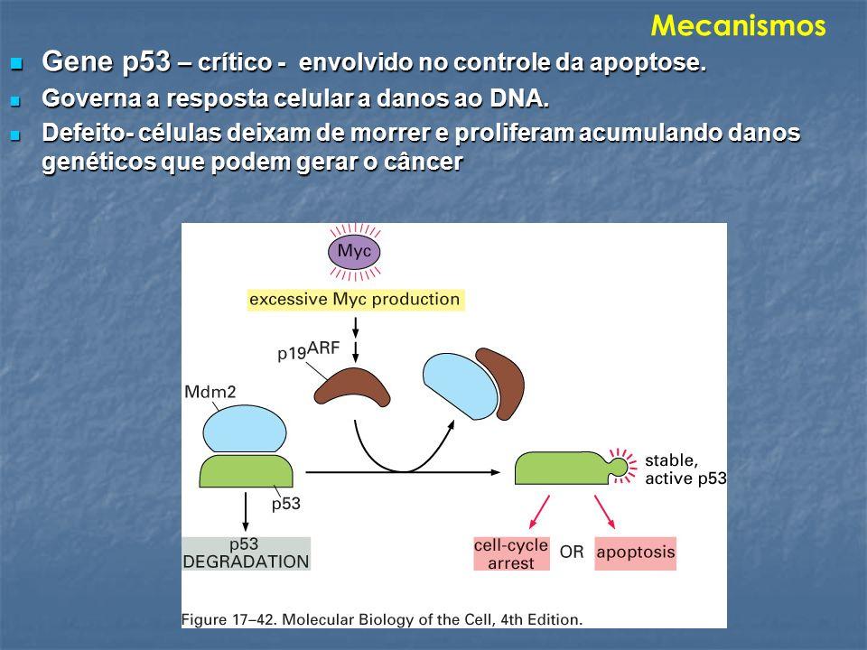 Gene p53 – crítico - envolvido no controle da apoptose. Gene p53 – crítico - envolvido no controle da apoptose. Governa a resposta celular a danos ao