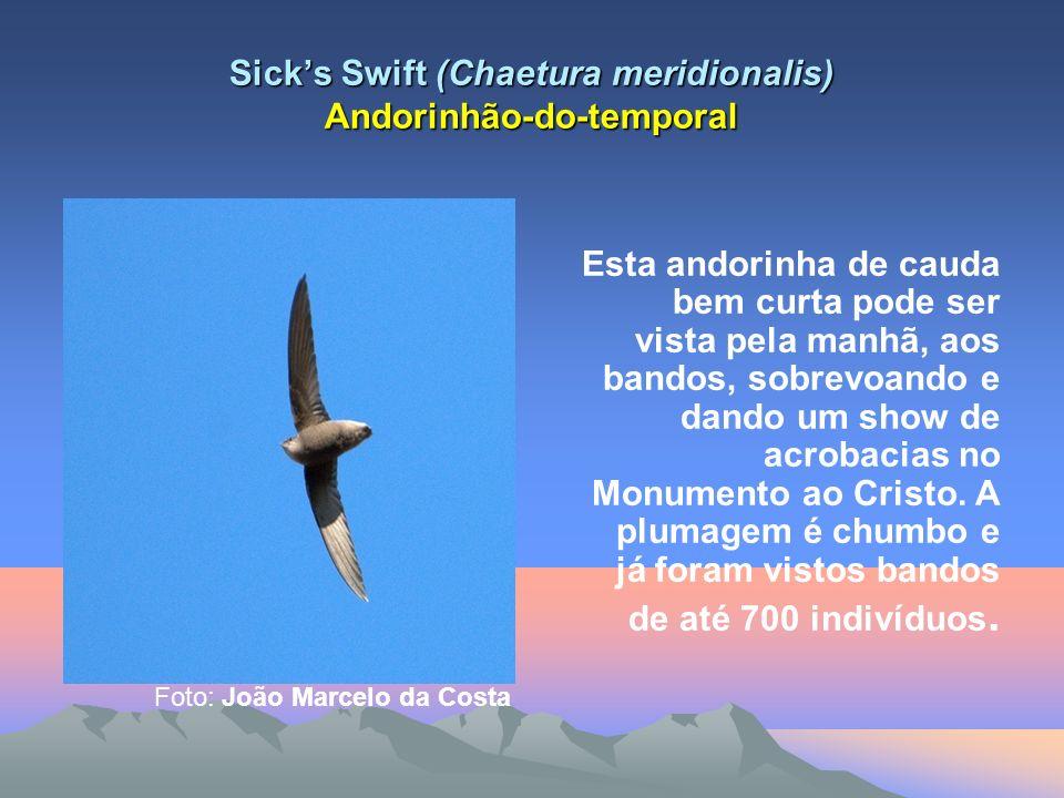 Sicks Swift (Chaetura meridionalis) Andorinhão-do-temporal Esta andorinha de cauda bem curta pode ser vista pela manhã, aos bandos, sobrevoando e dando um show de acrobacias no Monumento ao Cristo.