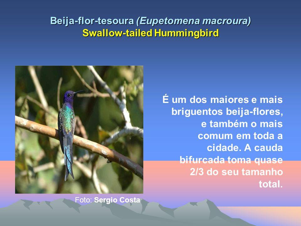 Beija-flor-tesoura (Eupetomena macroura) Swallow-tailed Hummingbird É um dos maiores e mais briguentos beija-flores, e também o mais comum em toda a cidade.