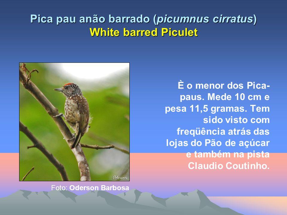 Pica pau anão barrado (picumnus cirratus) White barred Piculet È o menor dos Pica- paus.