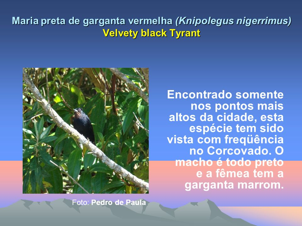 Maria preta de garganta vermelha (Knipolegus nigerrimus) Velvety black Tyrant Encontrado somente nos pontos mais altos da cidade, esta espécie tem sido vista com freqüência no Corcovado.