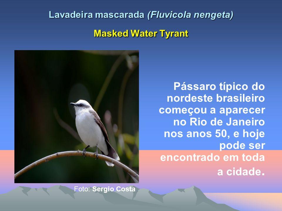 Lavadeira mascarada (Fluvicola nengeta) Masked Water Tyrant Pássaro típico do nordeste brasileiro começou a aparecer no Rio de Janeiro nos anos 50, e hoje pode ser encontrado em toda a cidade.