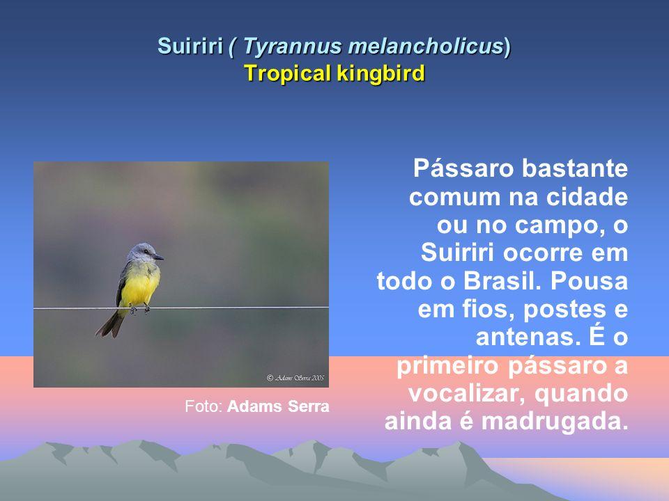 Suiriri ( Tyrannus melancholicus) Tropical kingbird Pássaro bastante comum na cidade ou no campo, o Suiriri ocorre em todo o Brasil.