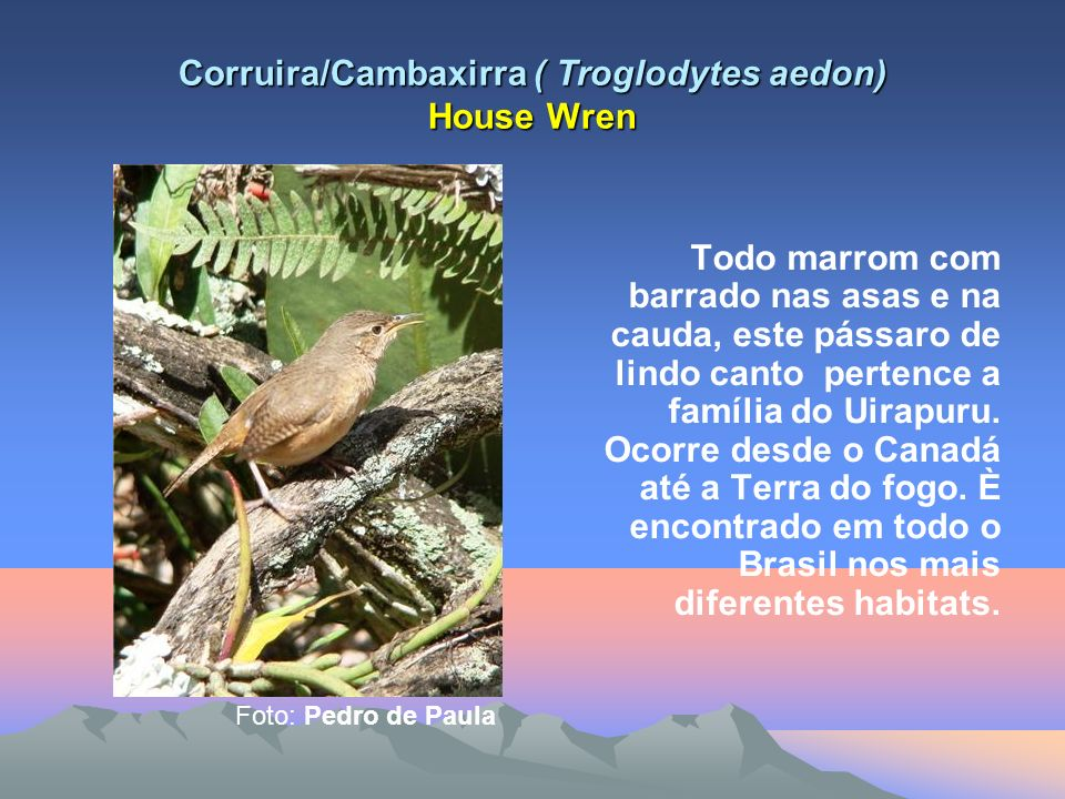 Corruira/Cambaxirra ( Troglodytes aedon) House Wren Todo marrom com barrado nas asas e na cauda, este pássaro de lindo canto pertence a família do Uirapuru.