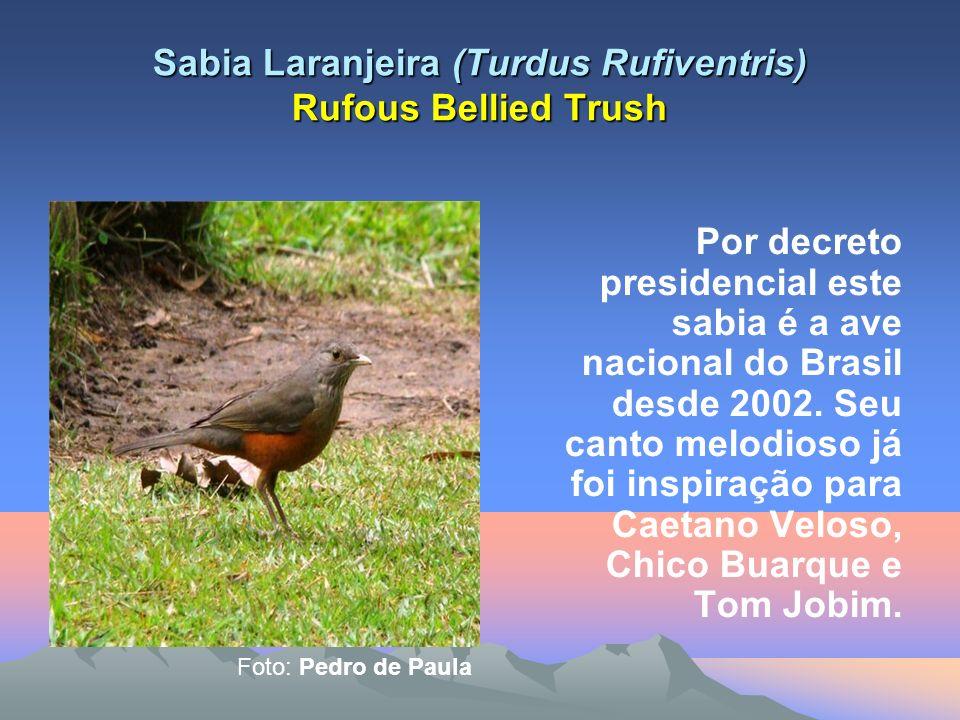 Sabia Laranjeira (Turdus Rufiventris) Rufous Bellied Trush Por decreto presidencial este sabia é a ave nacional do Brasil desde 2002.