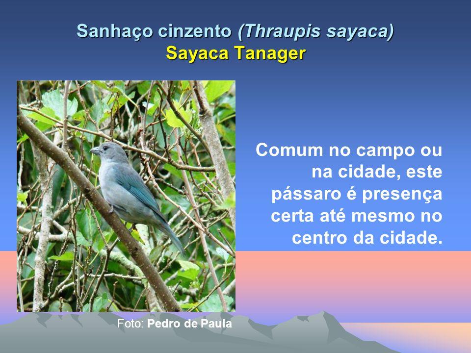 Sanhaço cinzento (Thraupis sayaca) Sayaca Tanager Comum no campo ou na cidade, este pássaro é presença certa até mesmo no centro da cidade.