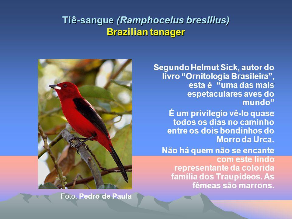 Tiê-sangue (Ramphocelus bresilius) Brazilian tanager Segundo Helmut Sick, autor do livro Ornitologia Brasileira, esta é uma das mais espetaculares aves do mundo É um privilegio vê-lo quase todos os dias no caminho entre os dois bondinhos do Morro da Urca.