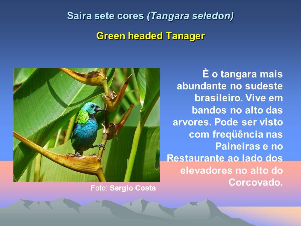 Saíra sete cores (Tangara seledon) Green headed Tanager È o tangara mais abundante no sudeste brasileiro.