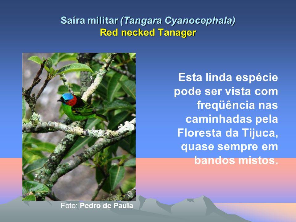 Saíra militar (Tangara Cyanocephala) Red necked Tanager Esta linda espécie pode ser vista com freqüência nas caminhadas pela Floresta da Tijuca, quase sempre em bandos mistos.