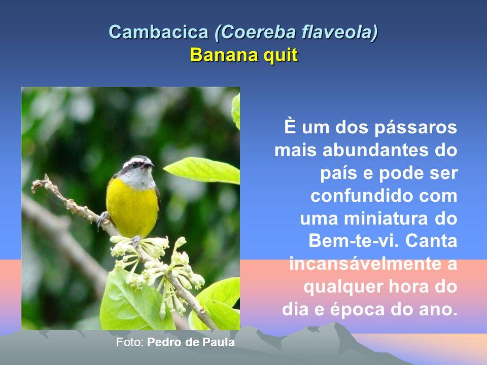 Cambacica (Coereba flaveola) Banana quit È um dos pássaros mais abundantes do país e pode ser confundido com uma miniatura do Bem-te-vi.