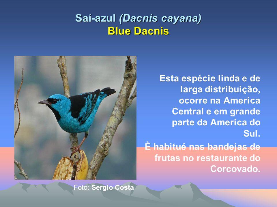 Saí-azul (Dacnis cayana) Blue Dacnis Esta espécie linda e de larga distribuição, ocorre na America Central e em grande parte da America do Sul.