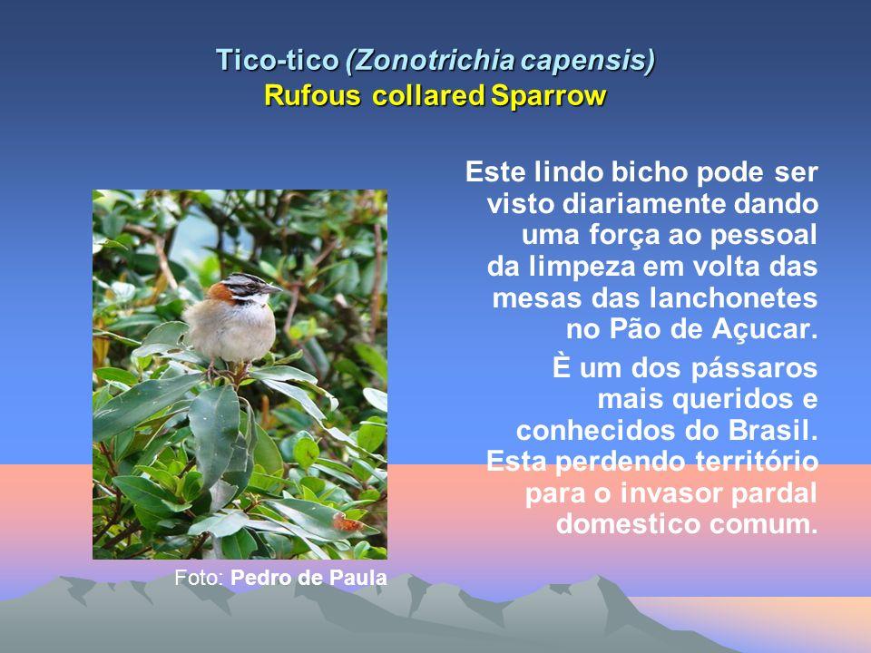 Tico-tico (Zonotrichia capensis) Rufous collared Sparrow Este lindo bicho pode ser visto diariamente dando uma força ao pessoal da limpeza em volta das mesas das lanchonetes no Pão de Açucar.