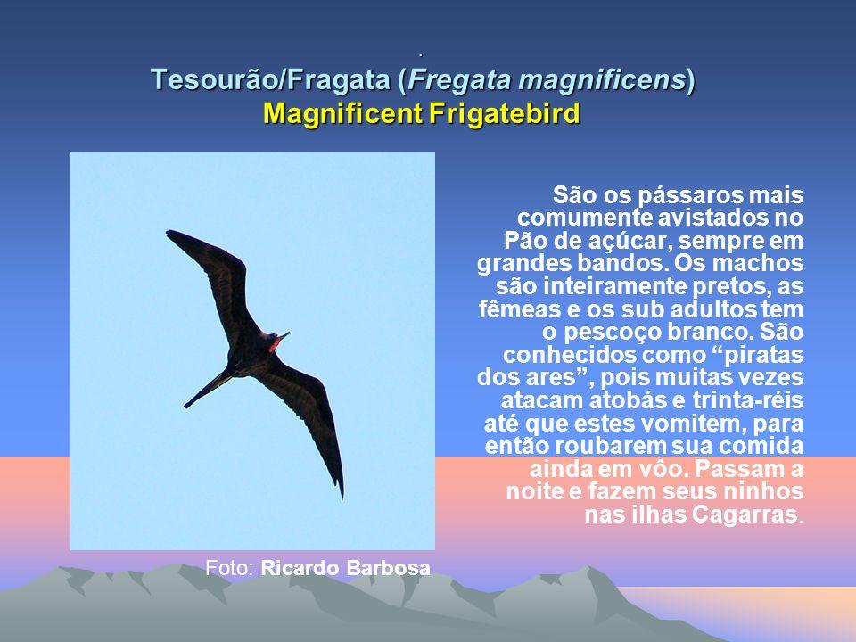 Tesourão/Fragata (Fregata magnificens) Magnificent Frigatebird São os pássaros mais comumente avistados no Pão de açúcar, sempre em grandes bandos.