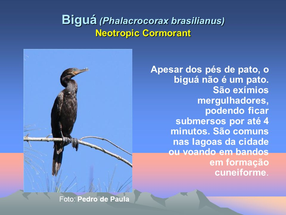 Biguá ( Phalacrocorax brasilianus ) Neotropic Cormorant Apesar dos pés de pato, o biguá não é um pato.