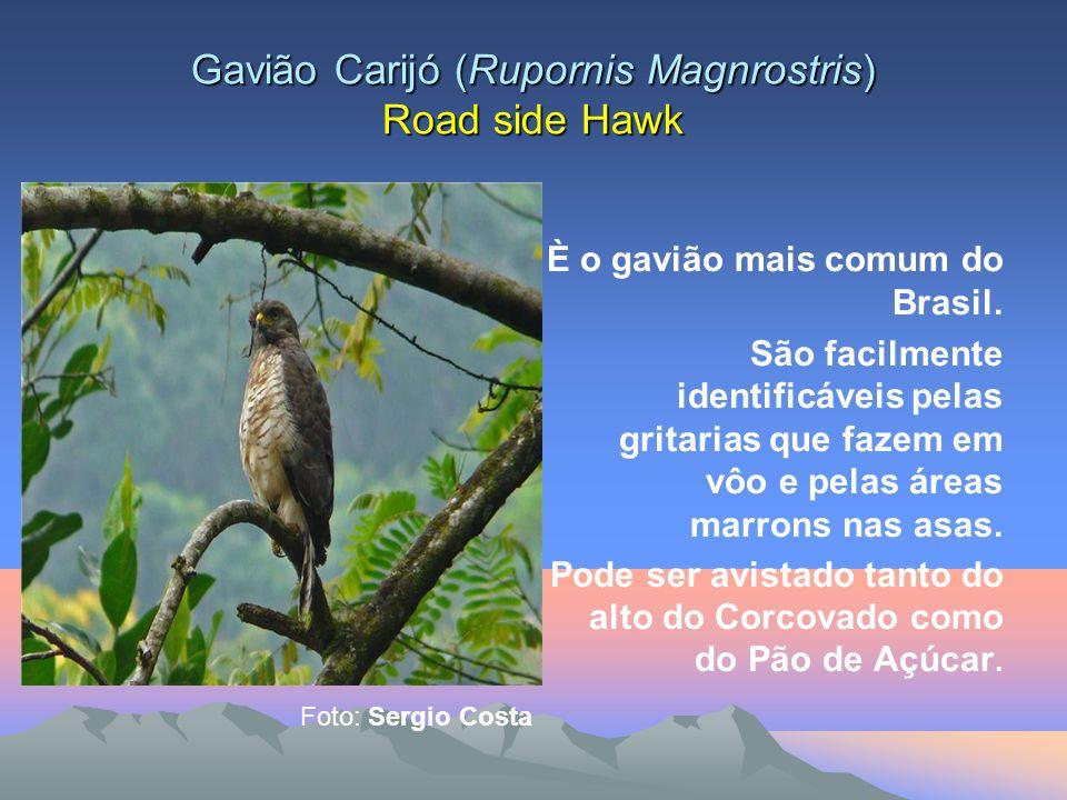 Gavião de rabo branco (Buteo albicaudatus) White Tailed Hawk Espécie típica de áreas campestres tem sido avistado com freqüência em toda a cidade, favorecido pelo desmatamento.