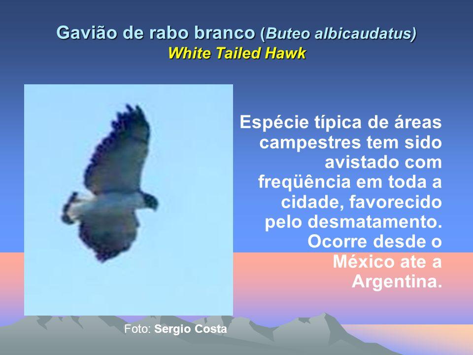 Andorinha pequena de casa (Notiocheledon cyanoleuca) Blue-and-White Swalow Esta espécie bastante comum em cidades é sem duvida a dominante no Rio de Janeiro, sobretudo nos meses de verão.