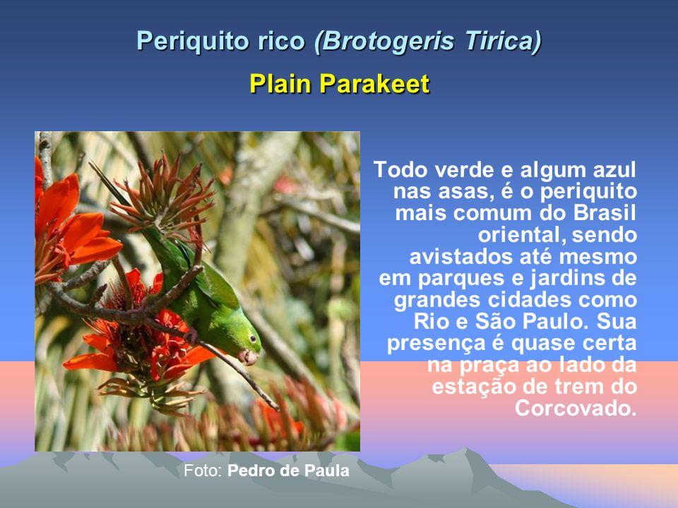 Andorinhão de coleria (Streptoprocne zonaris) White collard swift Esta é a maior andorinha do Brasil e tem envergadura de 53 cm e pesa 122 gramas.
