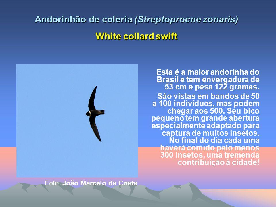 Fontes sources Sick, Helmut; Ornitologia Brasileira – Rio de Janeiro: Nova Fronteira,1997; www.wikiaves.com.br Minor adjustments by: aybloc.comaybloc.com Translate.