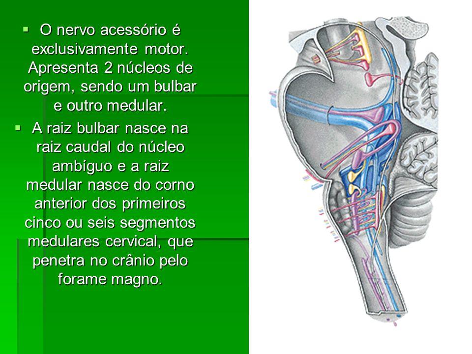 O nervo acessório é exclusivamente motor. Apresenta 2 núcleos de origem, sendo um bulbar e outro medular. O nervo acessório é exclusivamente motor. Ap