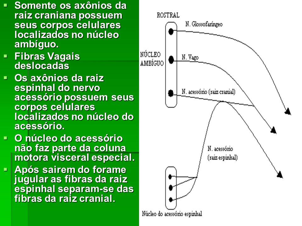 Somente os axônios da raiz craniana possuem seus corpos celulares localizados no núcleo ambíguo. Somente os axônios da raiz craniana possuem seus corp