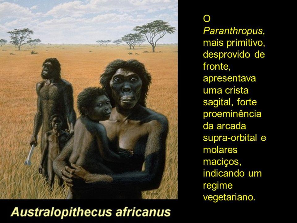 O Paranthropus, mais primitivo, desprovido de fronte, apresentava uma crista sagital, forte proeminência da arcada supra-orbital e molares maciços, in