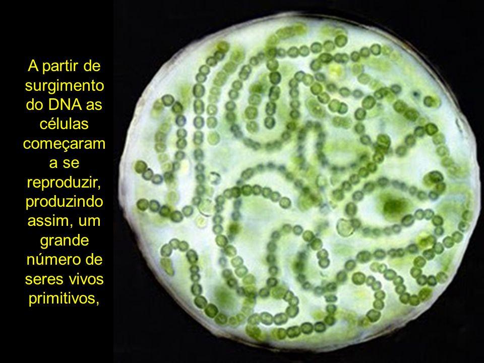 A partir de surgimento do DNA as células começaram a se reproduzir, produzindo assim, um grande número de seres vivos primitivos,