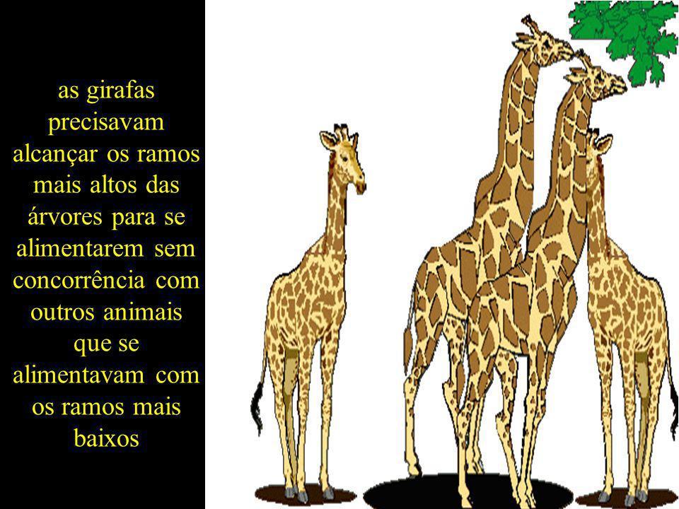 as girafas precisavam alcançar os ramos mais altos das árvores para se alimentarem sem concorrência com outros animais que se alimentavam com os ramos