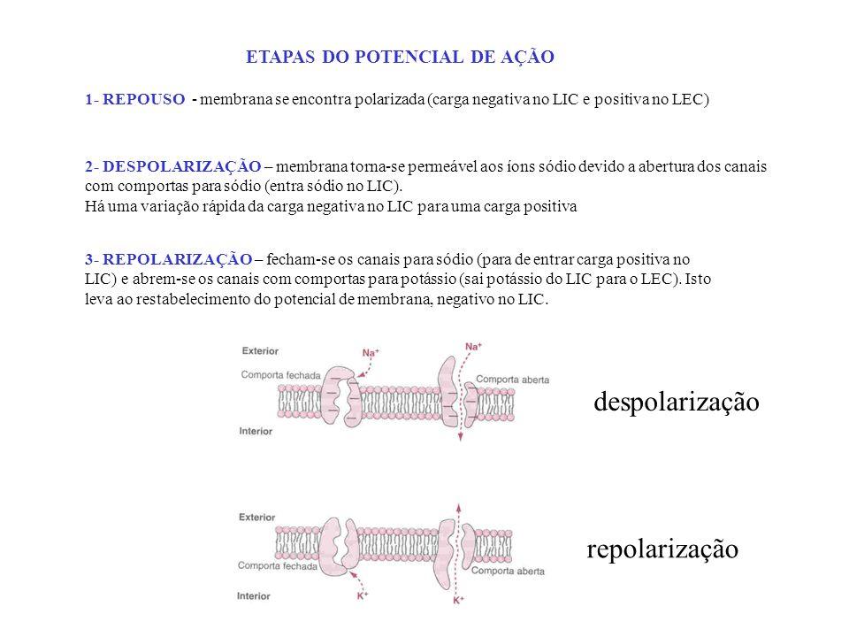 ETAPAS DO POTENCIAL DE AÇÃO 1- REPOUSO - membrana se encontra polarizada (carga negativa no LIC e positiva no LEC) 2- DESPOLARIZAÇÃO – membrana torna-
