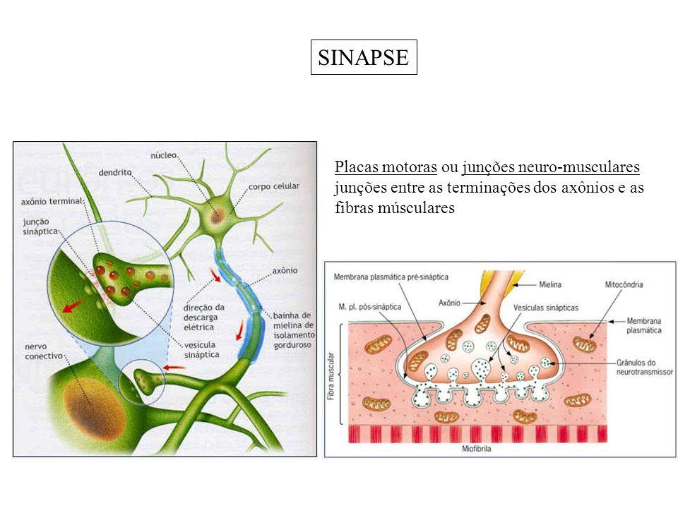 SINAPSE Placas motoras ou junções neuro-musculares junções entre as terminações dos axônios e as fibras músculares