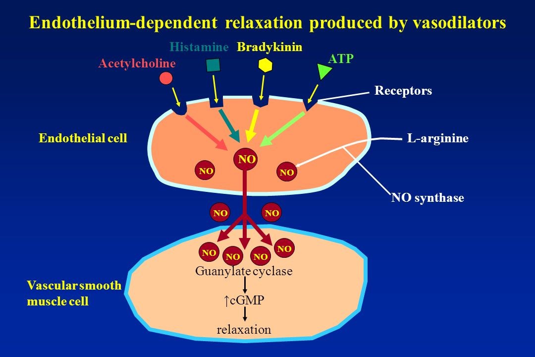 NO Guanylate cyclase cGMP relaxation Vascular smooth muscle cell Acetylcholine HistamineBradykinin ATP NO Endothelial cell Receptors L-arginine NO synthase Endothelium-dependent relaxation produced by vasodilators