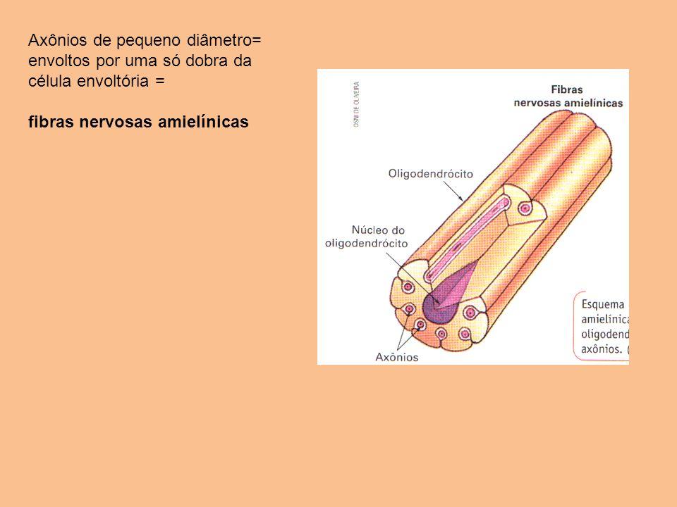 Axônios de pequeno diâmetro= envoltos por uma só dobra da célula envoltória = fibras nervosas amielínicas