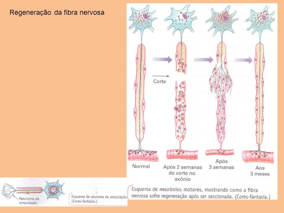 Regeneração da fibra nervosa