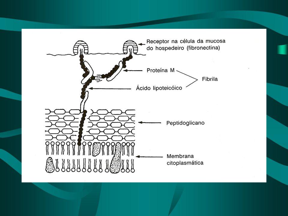 Streptococcus pneumoniae *Morfofisiologia *Estrutura antigênica - cápsula - 85 sorotipos *Virulência e patogenicidade -adesina - células aparelho respiratório e auditivo -IgA 1 protease -cápsula - antifagocítica -enzimas: - autolisinas, pneumolisina - lisa membranas celulares de mamíferos