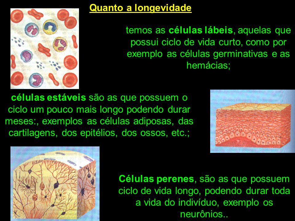 Quanto a longevidade temos as células lábeis, aquelas que possui ciclo de vida curto, como por exemplo as células germinativas e as hemácias; células estáveis são as que possuem o ciclo um pouco mais longo podendo durar meses:, exemplos as células adiposas, das cartilagens, dos epitélios, dos ossos, etc.; Células perenes, são as que possuem ciclo de vida longo, podendo durar toda a vida do indivíduo, exemplo os neurônios..
