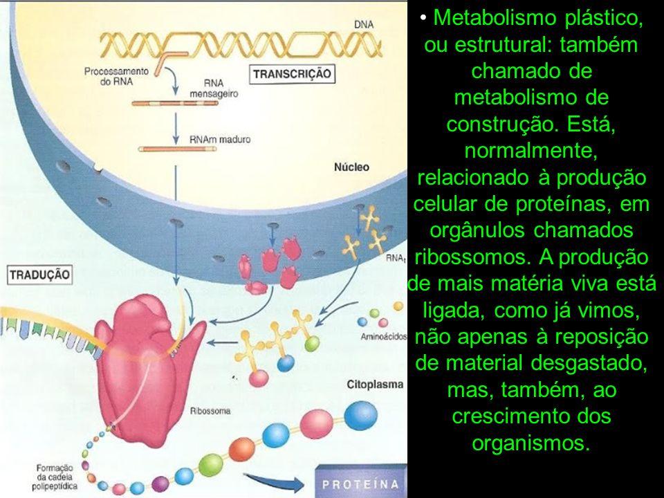 Metabolismo plástico, ou estrutural: também chamado de metabolismo de construção.