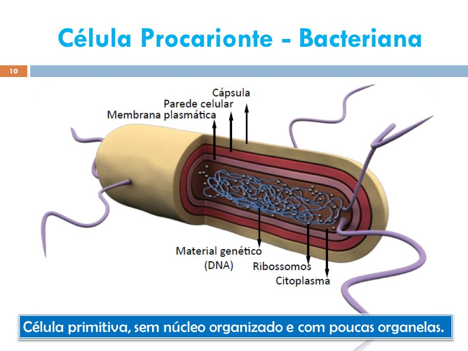 Célula Procarionte - Bacteriana 10 Elab.: Prof. Gilmar Célula primitiva, sem núcleo organizado e com poucas organelas.