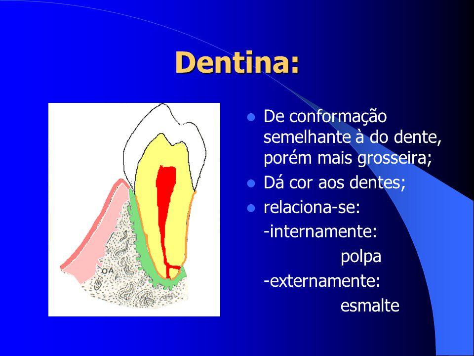 Dentina: De conformação semelhante à do dente, porém mais grosseira; Dá cor aos dentes; relaciona-se: -internamente: polpa -externamente: esmalte