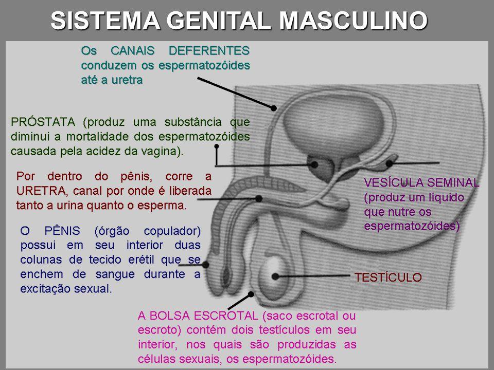 mudanças físicas ESTRÓGENO PROGESTERONAOVÁRIOS TESTOSTERONA TESTÍCULOS FOLÍCULO-ESTIMULANTE (FSH) LUTEINIZANTE (LH), HIPÓFISE As mudanças físicas que ocorrem durante a puberdade são resultado da produção cada vez maior de substâncias químicas conhecidas como hormônios sexuais.