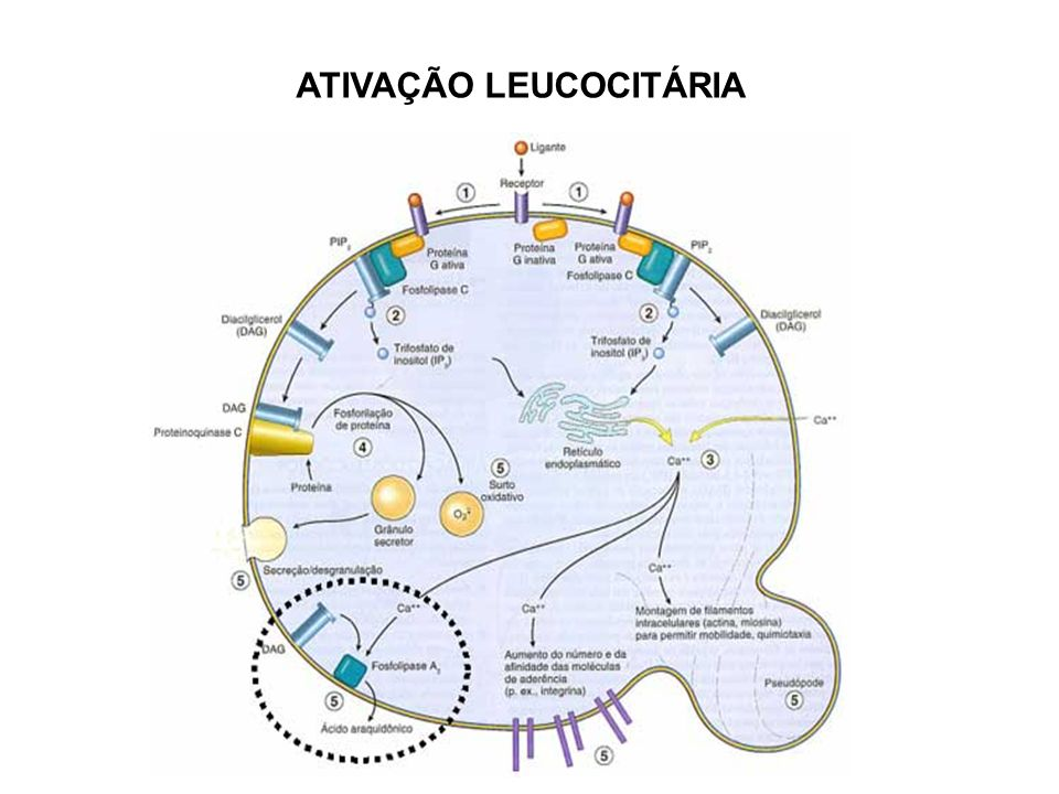 ATIVAÇÃO LEUCOCITÁRIA